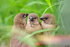 3 little birds photo by Ken Goh thanks for 1,600,000+ views