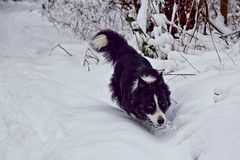 Millie Quite Likes This Snow Thing photo by johngarghan