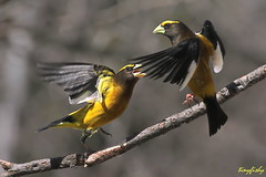 (N.American Species # 497) Evening Grosbeak Bullying Another photo by tinyfishy (Gone to the Far East)