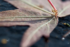 leaf photo by David's Images of Life...