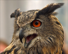 Svenja, the Eurasian Eagle Owl photo by Foto Martien
