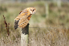 Barn Owl (Tyto alba) photo by Jared Hughey