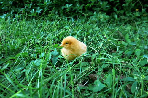 Little Buff Orpington