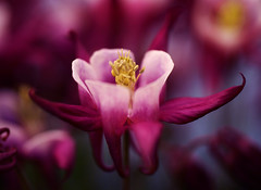 Columbine photo by j man.