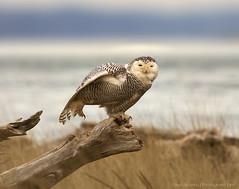 Snowy Owl, Ocean Shores, WA photo by - Aman Agarwal -