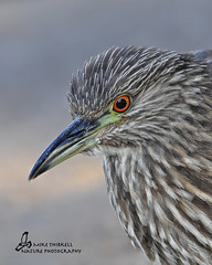 Juvenile Black-crowned Night-Heron photo by mtetcher