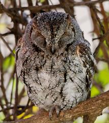 Mocho-d'orelhas Africano - African Scops Owl [Otus senegalensis] - em Liberdade (WilLife) photo by xanirish