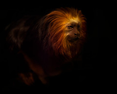Golden LionTamarin photo by Charlie Stinchcomb
