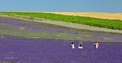 Hitchin Lavender photo by Rafe Abrook