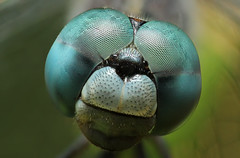 Dragonfly Portrait photo by karthik Nature photography