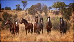 Wild Horses - Central Australia photo by oosh