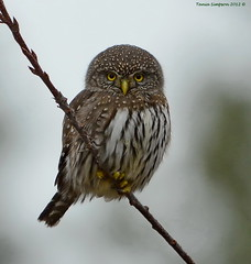 Northern Pygmy-Owl (Glaucidium gnoma) photo by Photography Through Tania's Eyes