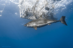 Great white shark under cages photo by George Probst