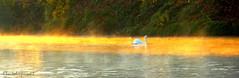 Far away swan sliding on the golden lake photo by Cloudwhisperer67