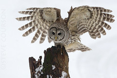 barred owl landing photo by Steve Courson