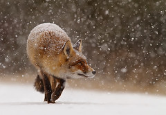 Fox' First Snow photo by Roeselien Raimond