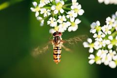 Hoverfly photo by Norbert Králik