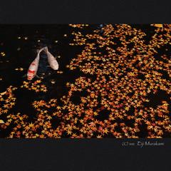 天授庵 散り紅葉 photo by Eiji Murakami