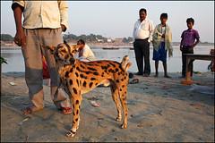 Tiger Dog - Sonepur, India photo by Maciej Dakowicz
