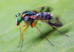 green-eye-fly photo by manszar