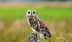 Short Eared Owl photo by TL1000R Al (Falling waaaaaayyyyyyyy behind)