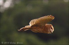 Barn Owl. photo by evelyng23