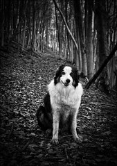 """Sit and Stay"" (Muddy Border Collie) photo by Robots are Stupid"