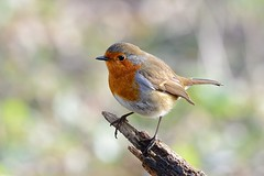 Robin in the Winter sun photo by Rivertay07 - thanks for over 2 million views