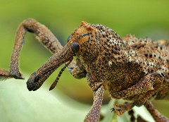 elephant weevil photo by FISHNROBO