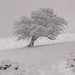 Lonely Snowy Tree