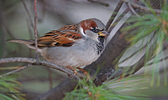 House Sparrow 1 - Male, North Pond, Chicago IL, 011213 photo by SteveJnerChicago