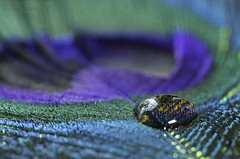Water drop on feather photo by Torstein aka TR