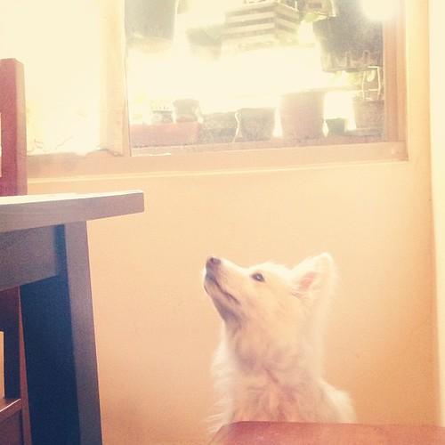 渴望 Desire #熊寶 #dog #doglife #dogdaily #dogstagram #instadog