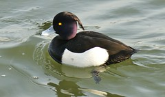 Tufted Duck. 'aythya fuligula' photo by Paul (Barniegoog)