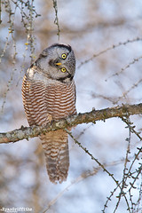 northern hawk owl photo by Ryan Griffiths
