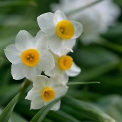 日本水仙  Tazetta narcissus photo by myu-myu