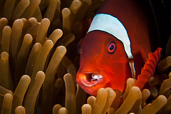Clownfish with parasite photo by Martin-Klein