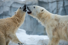 International Polar Bear Day photo by C E Andersen