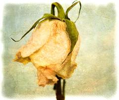 pale rose photo by EwaHB
