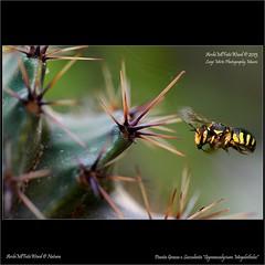 """Pianta Grassa o Succulenta con Ape - Fat Plant or Succulent with Bee - """"Gymnocalycium megalothelos"""" photo by LuigiMirto/ArchiMlFotoWord/Natura"""