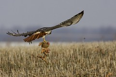 "When Pigs Fly - Red-tailed Hawk with ""prey"" - Indiana photo by bonxie88"