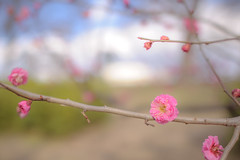 [Explored] Ume - Japanese apricot photo by TORO*