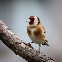 Goldfinch photo by Royally Morphed Pythons