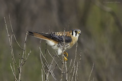 The American Kestrel photo by J Labrador