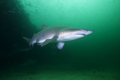 Gray Nurse Shark photo by PacificKlaus
