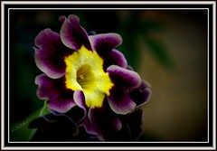 Primula auricula ... photo by Colink321- Away on a Sabbatical ... ..