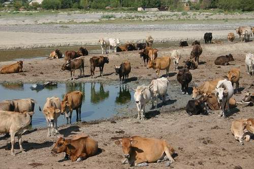 The Azeri cows are having a hot time as well!