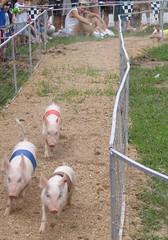 1st pig race