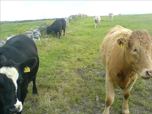 Inquisitive Cows