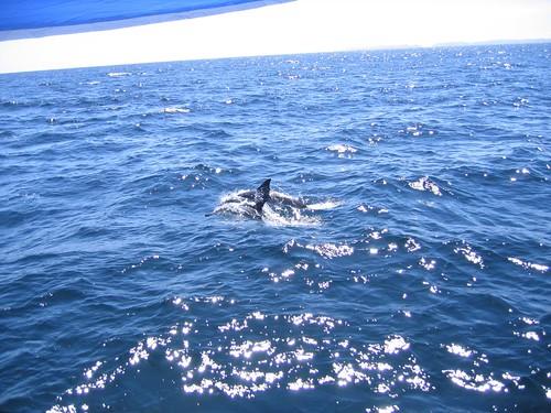 Dolfins Santa Barbara Channel 1
